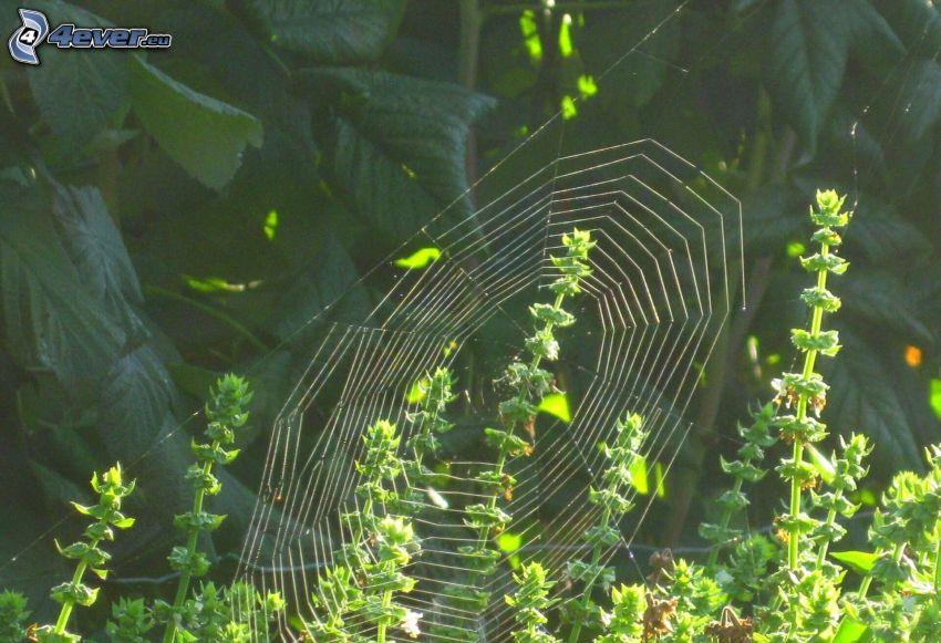 toile d'araignée, plantes
