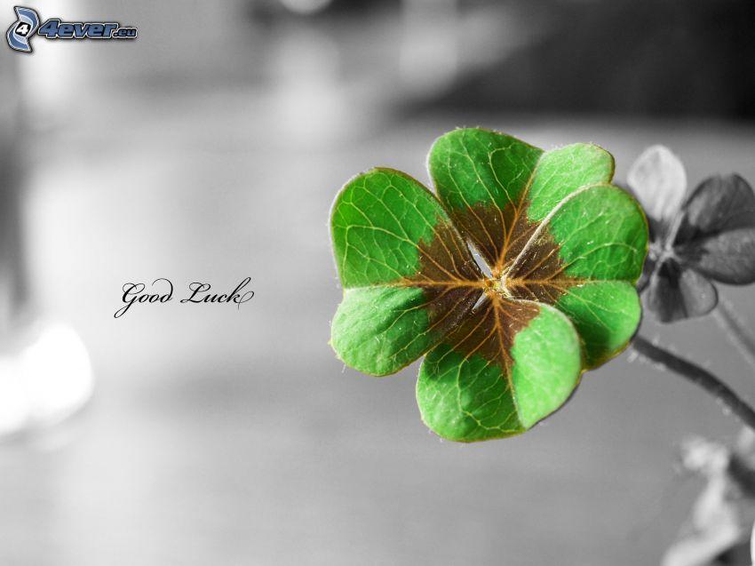 trèfle à quatre feuilles, good luck!