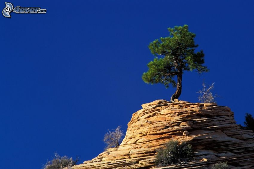 Zion National Park, arbre solitaire, rochers