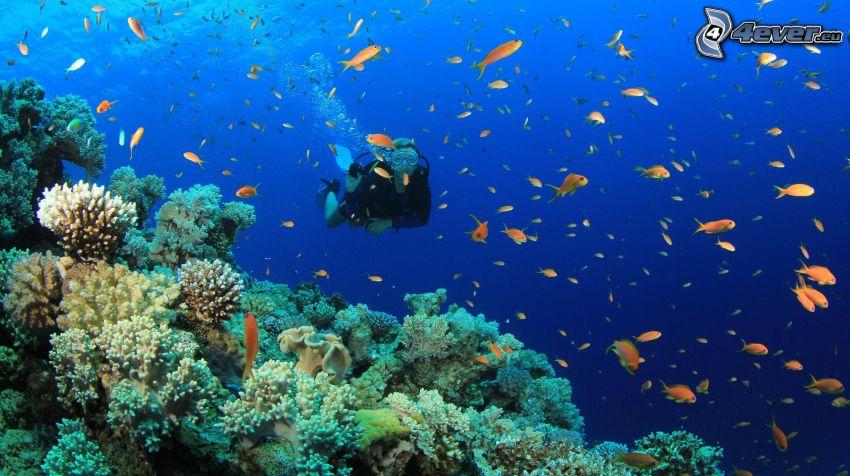plongeur, coraux, troupe de poissons