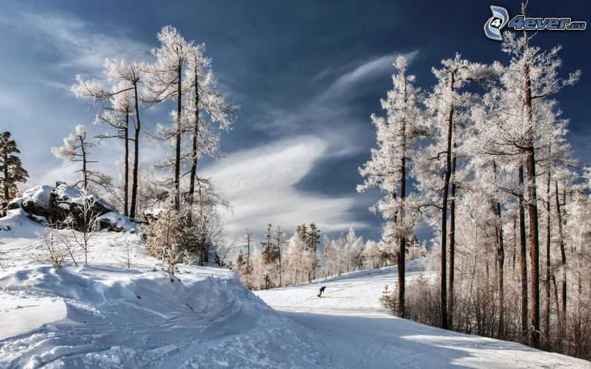 snowboarding, paysage enneigé, arbres enneigés