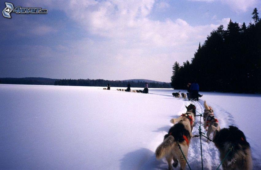 traîneau à chiens, course, neige