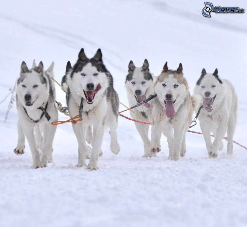 traîneau à chiens, Husky sibérien, neige