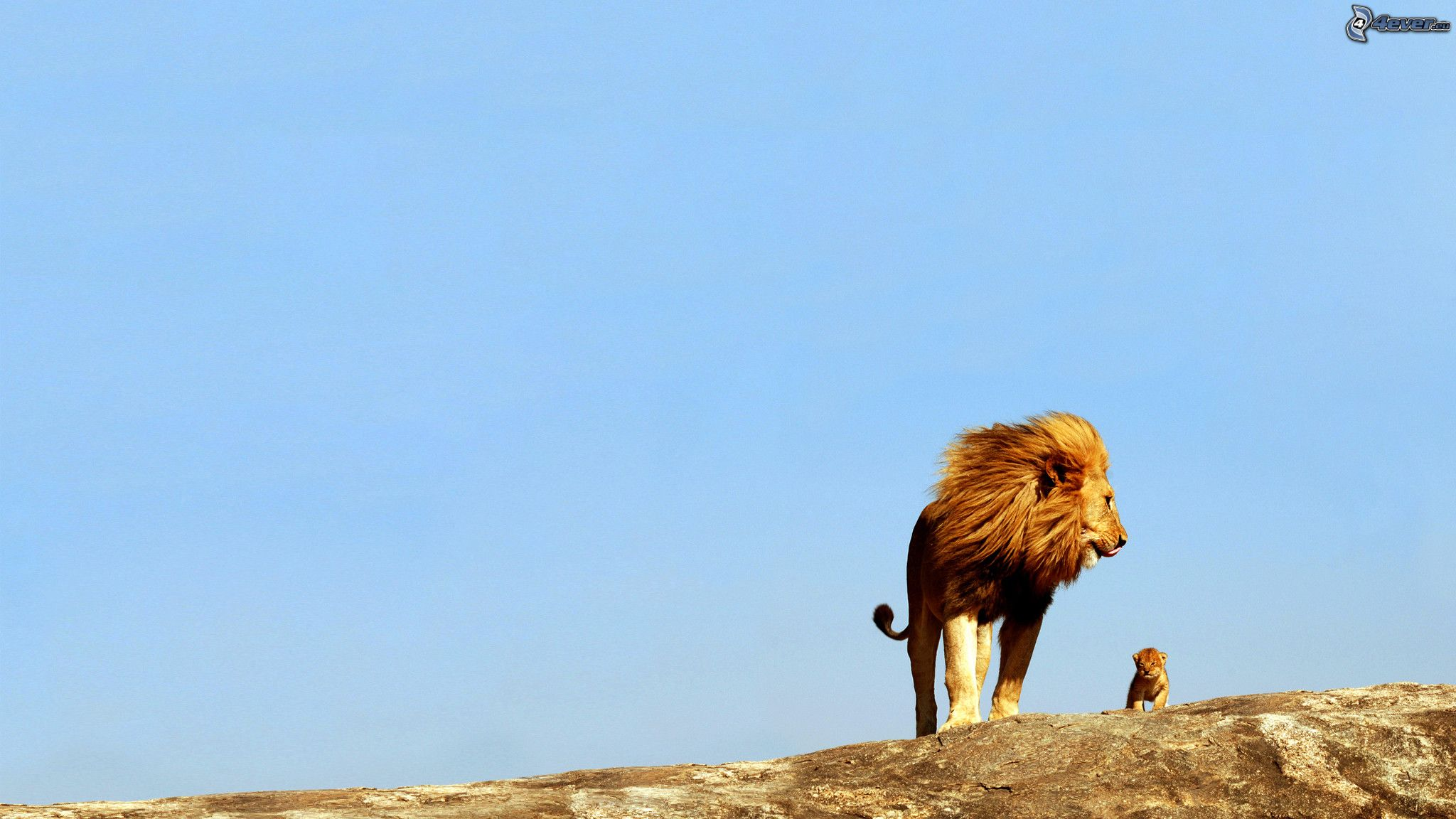 Lion Et Lionceau