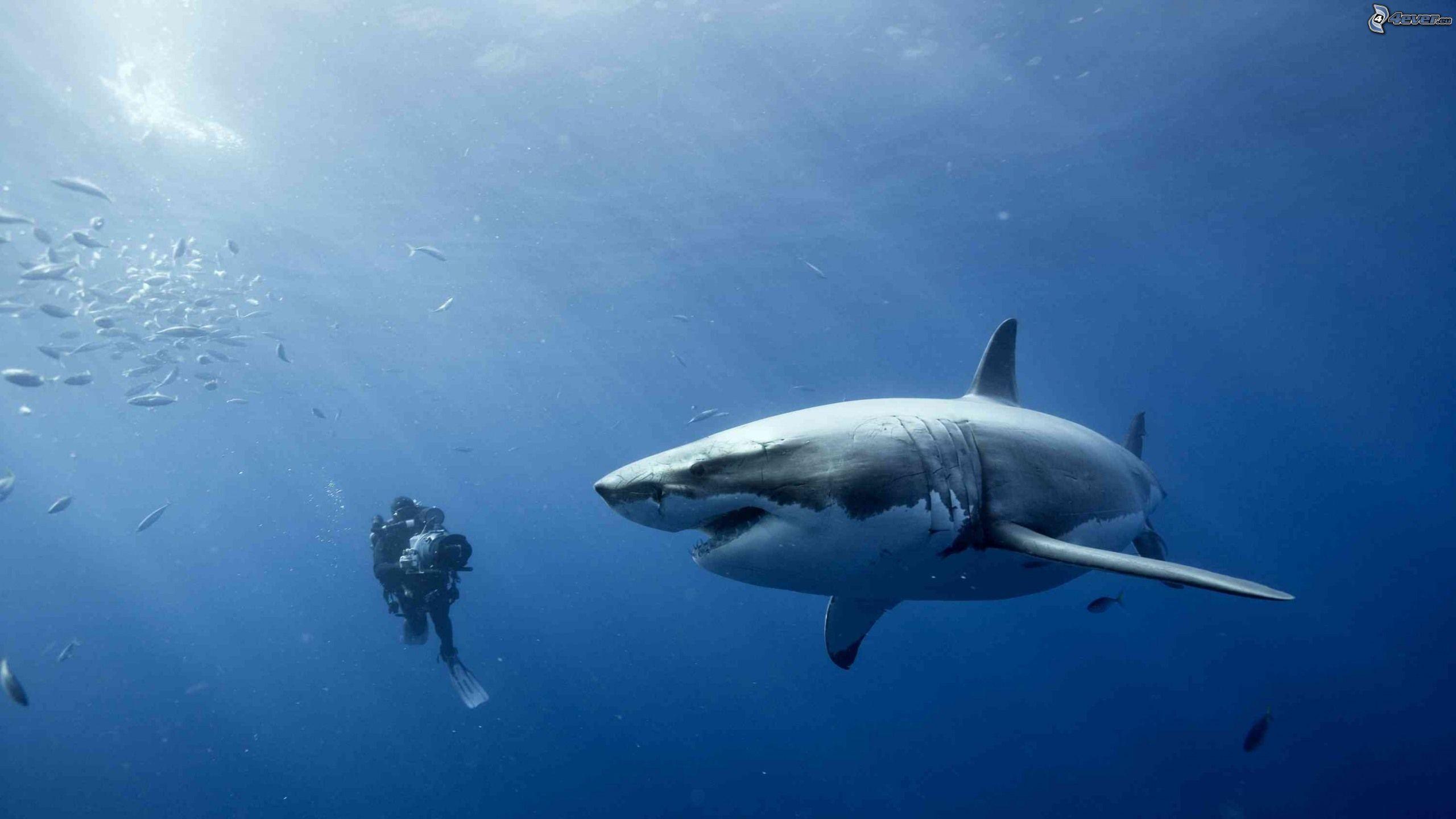 Requin Et Plongeur