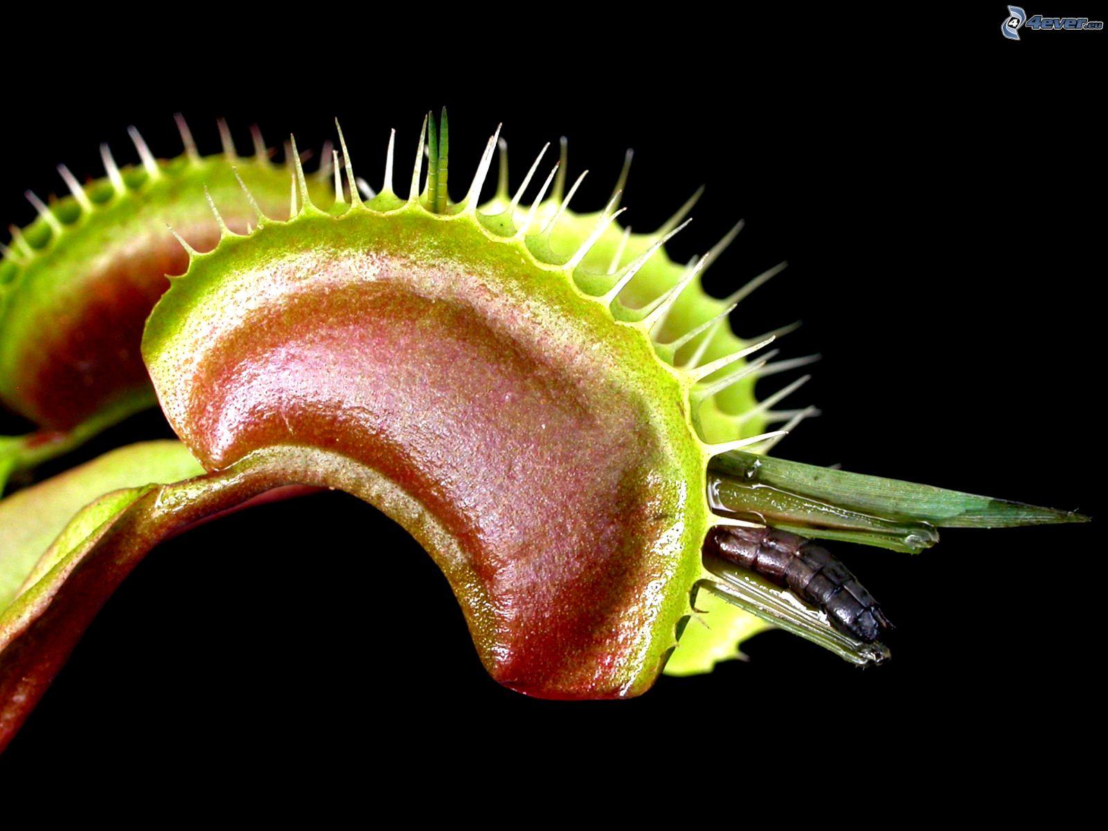 plante carnivore hd