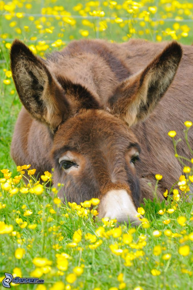asino, fiori gialli