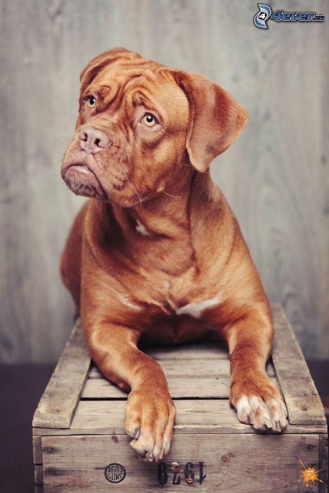 Dogue de Bordeaux, cane sul cortile, cassetta in legno
