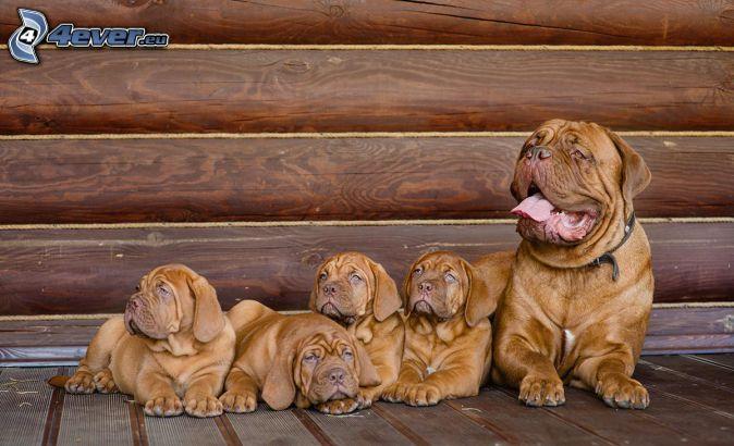 Dogue de Bordeaux, cuccioli