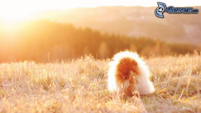 spitz, cucciolo, sole