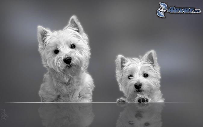 Westie, foto in bianco e nero