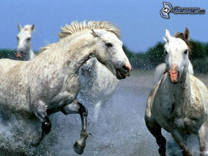 cavalli bianchi, correre, gocce