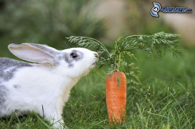 coniglio, carote