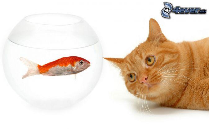 Gatto rosso for Pesce gatto acquario
