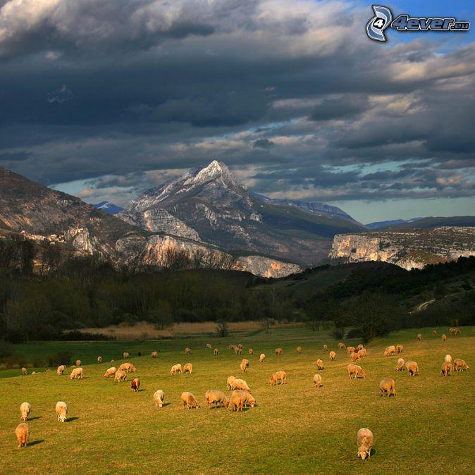 pecore, prato, colline rocciose, nuvole scure