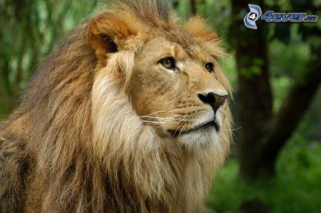 Leone for Immagini leone hd