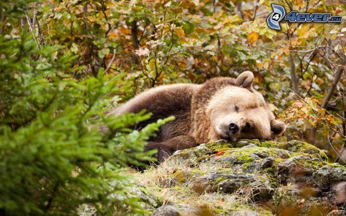 orso bruno, sonno