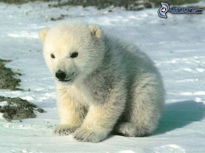 Risultati immagini per orso del polonord