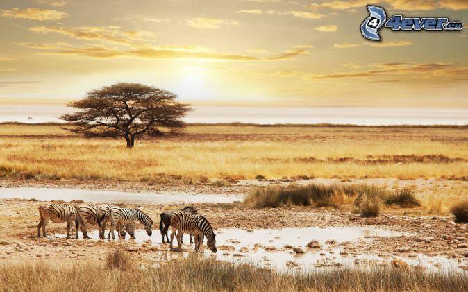zebre, safari, erba secca