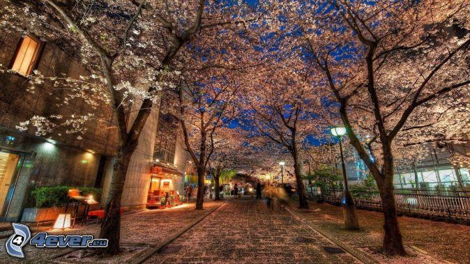 strada, alberi in fiore, HDR