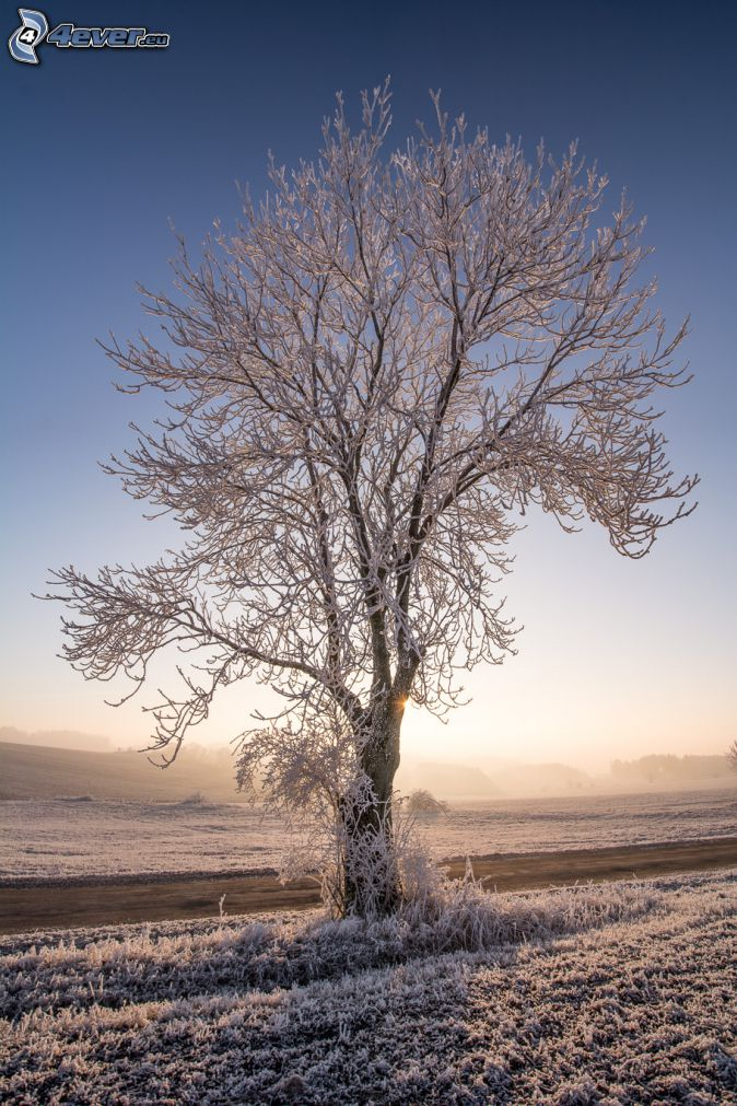 albero nevoso, strada, tramonto