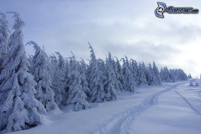 bosco innevato, alberi coperti di neve, strada