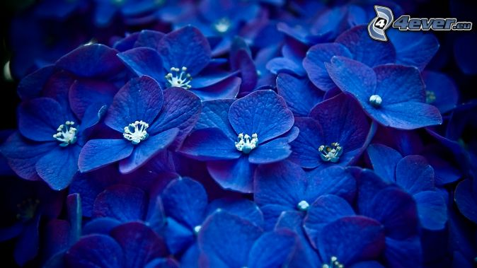 Ortensia - Ortensia blu ...