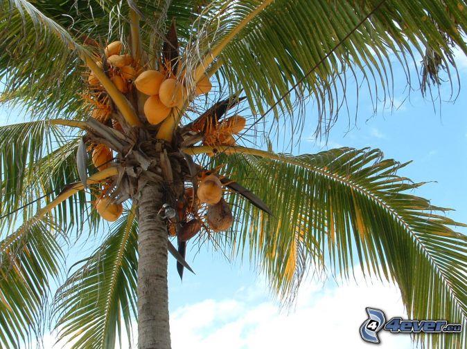 Palma da cocco - Palma di cocco ...