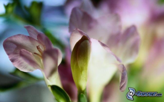 Piante rose for Rose piante