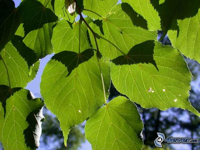 tilia, foglie verdi