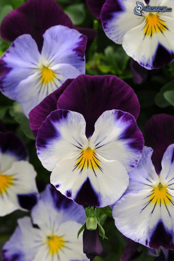 viole del pensiero, fiori bianchi, fiori viola