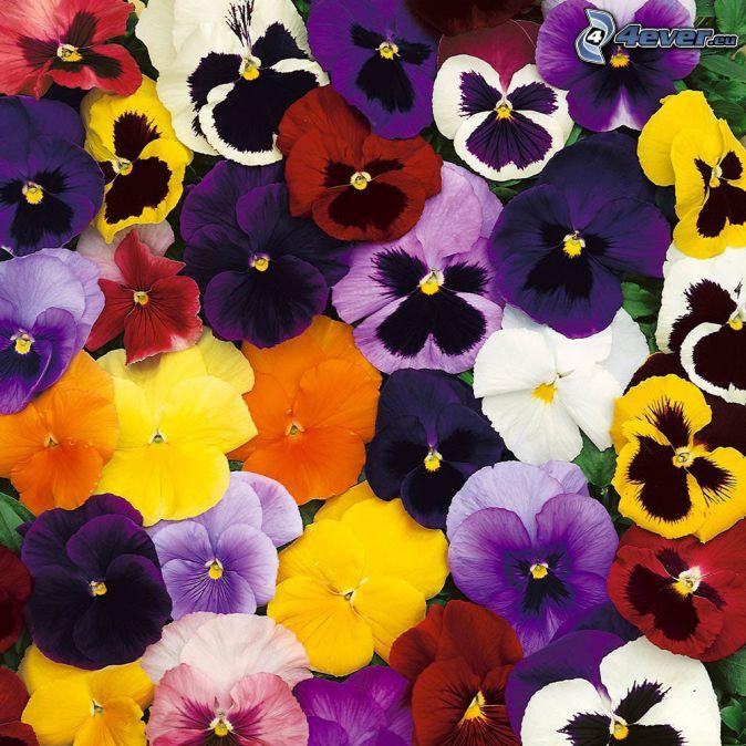 viole del pensiero, fiori gialli, fiori viola, fiori bianchi, fiori arancioni, fiori rossi