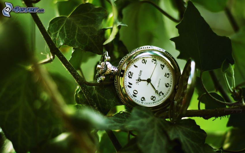 orologio, edera
