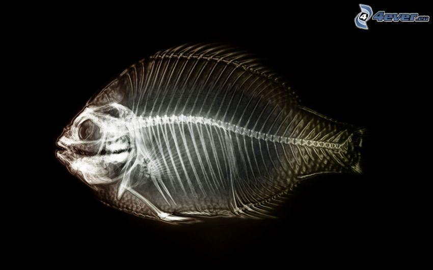 pesce, scheletro