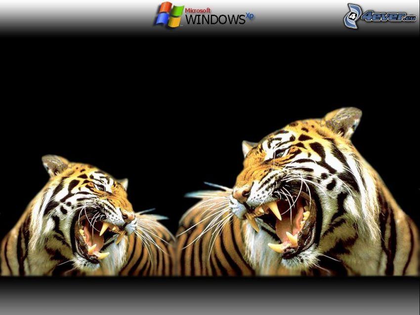 tigri, sfondo, Windows
