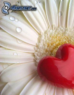cuore, fiore con rugiada, petalo, gocce d'acqua