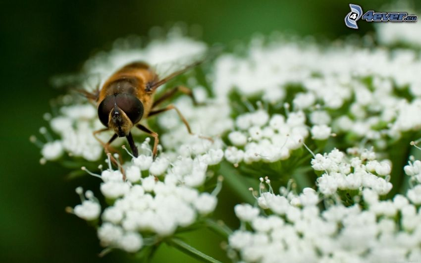 ape sui fiori, fiori bianchi