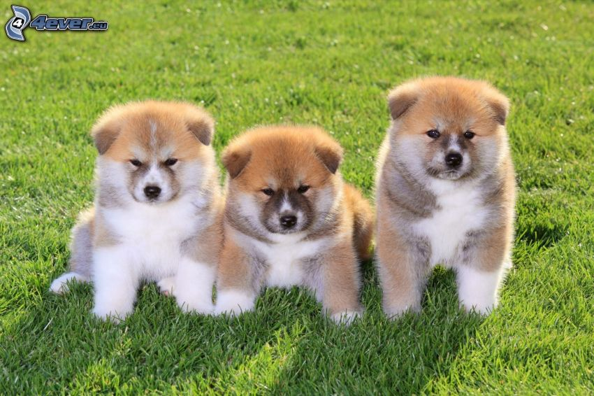 Akita Inu, cuccioli, l'erba