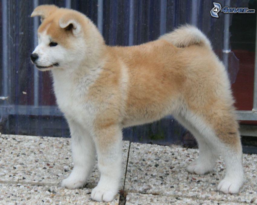 Akita Inu, cucciolo