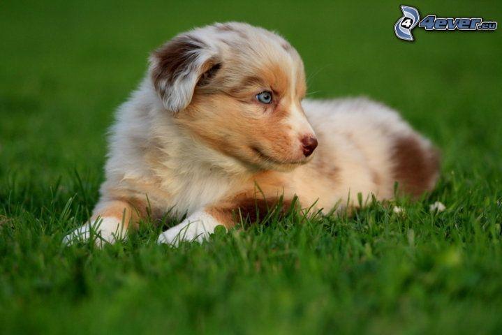 australian shepherd, cucciolo in erba