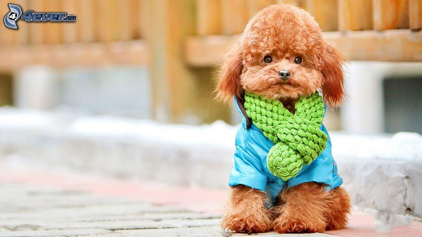 barbone nano, sciarpa, giacca