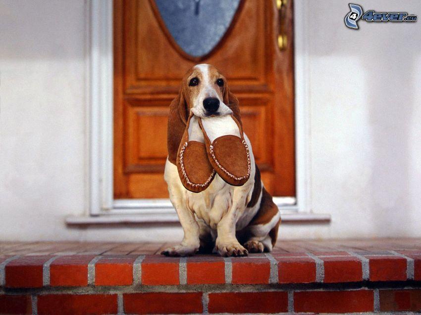 basset, pantofole