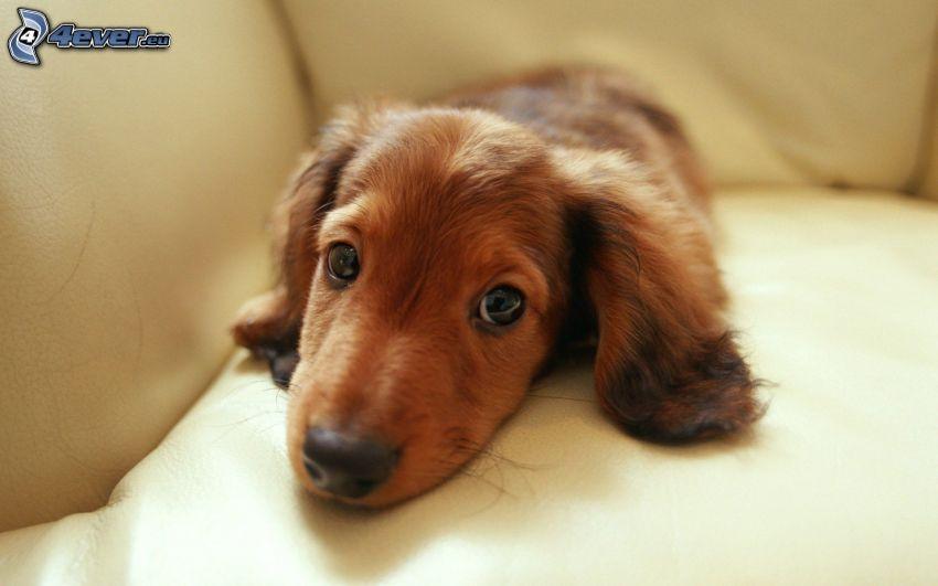 bassotto cucciolo, bassotto sul divano, riposo