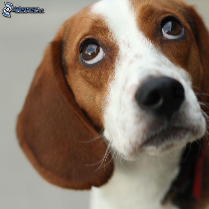 beagle, cane sul cortile