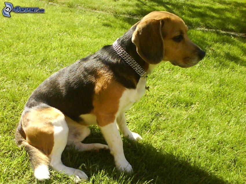 beagle, cane sul prato, colletto