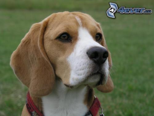beagle, colletto