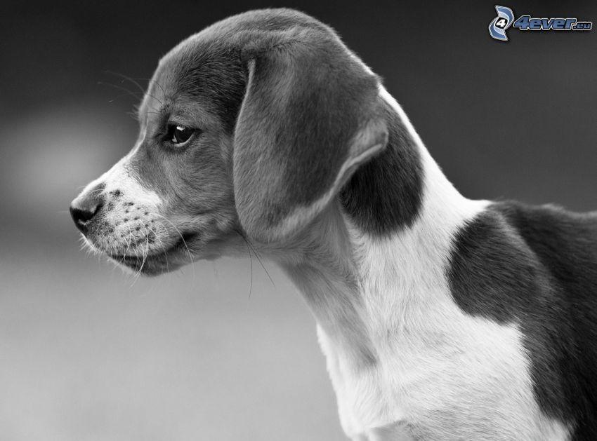 beagle cucciolo, bianco e nero