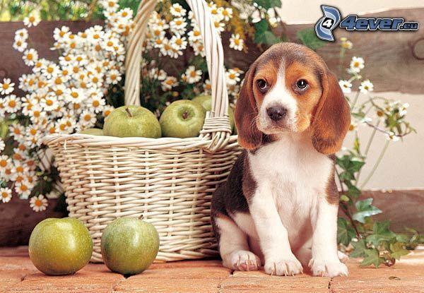 beagle cucciolo, cesto, mele