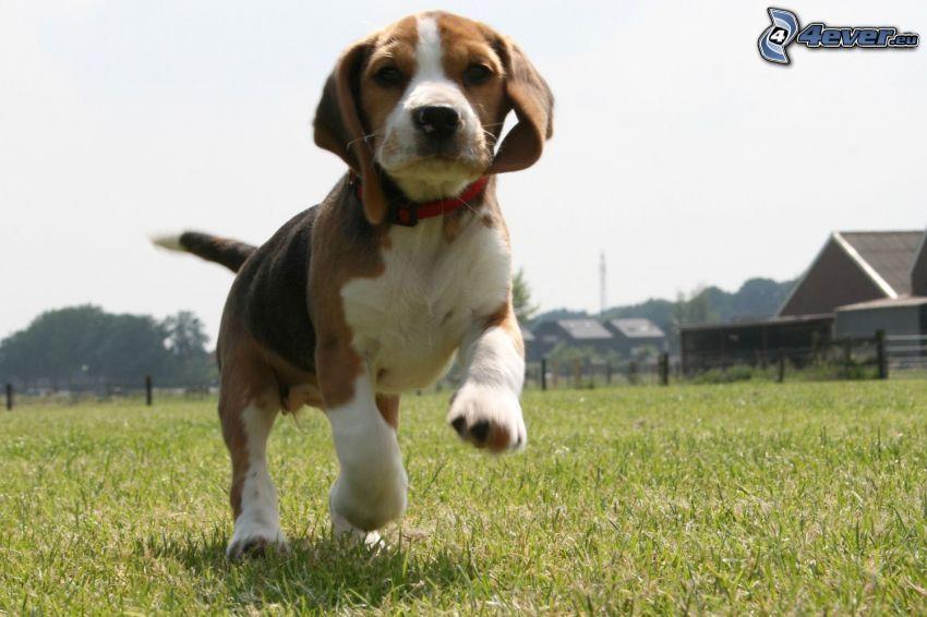 beagle cucciolo, correre, chalets