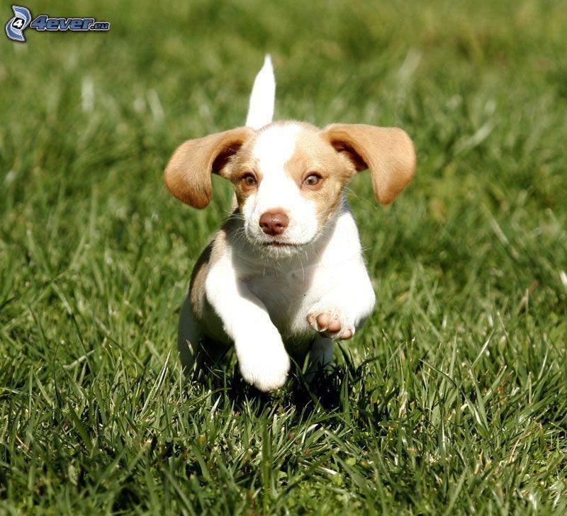 beagle cucciolo, correre, l'erba